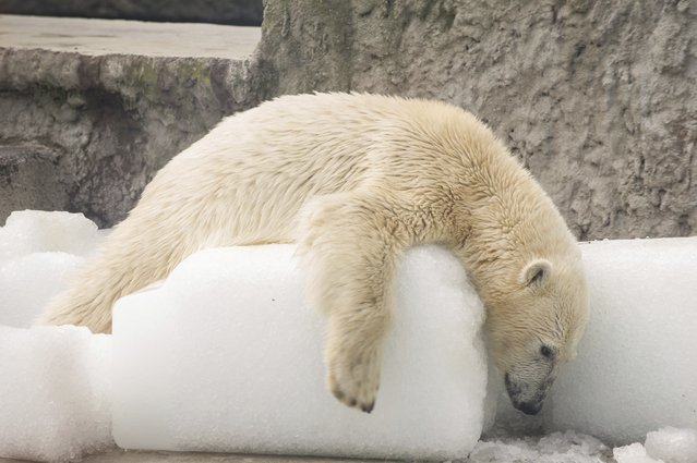 A polar bear plays with ice blocks in its enclosure at the zoo as the temperature reaches 30 degrees Celsius (86 Fahrenheit) in Budapest, Hungary, Friday, July 7, 2017. (Photo by Bea Kallos/MTI via AP Photo)