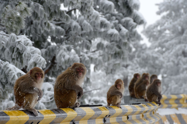 Monkeys sit along a street during a snowfall in Ayubia, some 75 km north of Islamabad, Pakistan on January 7, 2020. (Photo by Aamir Qureshi/AFP Photo)