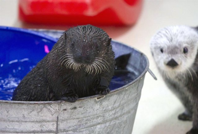 Cayucos, an orphaned sea otter pup, is seen making her first public appearance at the Shedd Aquarium in Chicago