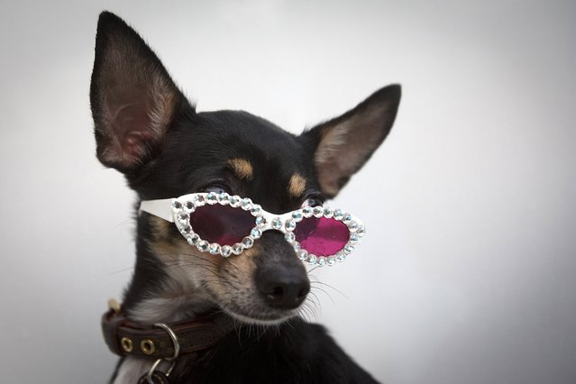 Three-legged Chihuahua Stella Star poses for a portrait during Mercedes Benz Swim Fashion Week in Miami, July 18, 2014. (Photo by Carlo Allegri/Reuters)