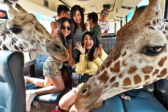 Visitors are seen with giraffes on a bus at Safari Park in Kanchanaburi Province, Thailand, January 19, 2020. Kanchanaburi in western Thailand an area known for its waterfalls and caves. (Photo by Rachen Sageamsak/Xinhua News Agency/Eyevine)