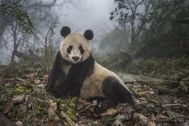 "16-year-old panda, Ye Ye, rests in an enclosure at the Wolong Nature Reserve, a conservation center that trains pandas for release into the wild. This image was published in the August 2016 National Geographic magazine as part of the ""Pandas Gone Wild"" story. (Photo by Ami Vitale/National Geographic Creative)"