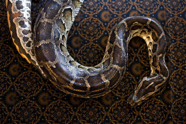 A python lays on the bed at Bali Heritage Reflexology and Spa rooms on October 27, 2013 in Jakarta, Indonesia. (Photo by Ulet Ifansasti/Getty Images)