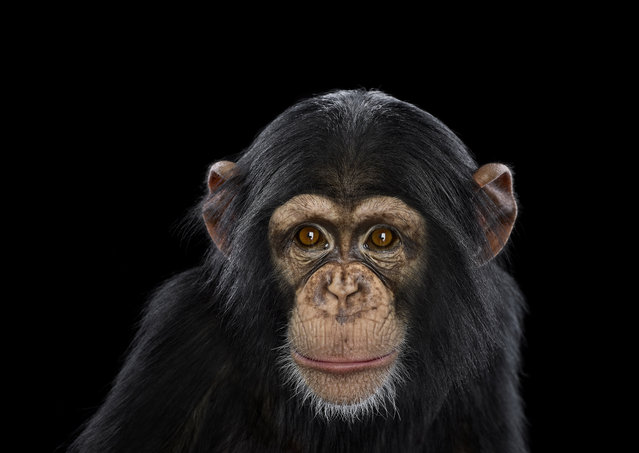 Chimpanzee. (Photo by Brad Wilson/Caters News)