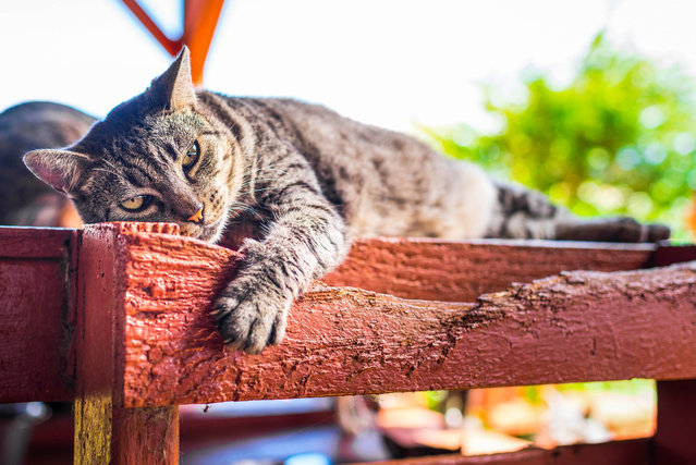 A cat is nice and relaxed at the shade at the Lanai Cat Sanctuary in Hawaii. (Photo by Andrew Marttila/Caters News Agency)