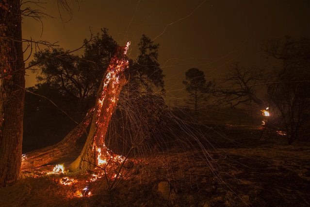 A tree burns as the Thomas Fire approaches the Lake Casitas area on December 9, 2017 near Ojai, California. Strong Santa Ana winds have been feeding major wildfires all week, destroying hundreds of houses and forcing tens of thousands of people to stay away from their homes. (Photo by David McNew/Getty Images)