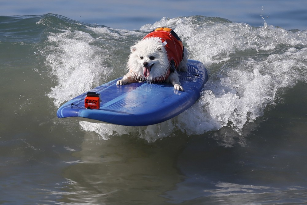 Surf City Surf Dog Contest in California