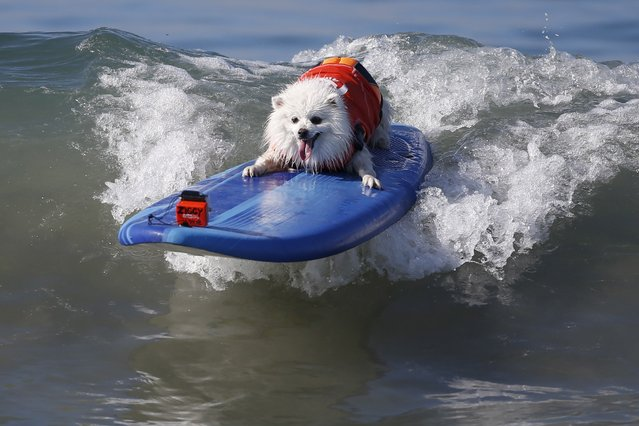 A dog catches a wave during the Surf City Surf Dog Contest in Huntington Beach, California September 27, 2015. (Photo by Lucy Nicholson/Reuters)