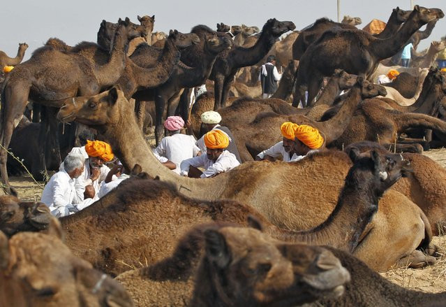 Camel traders wearing turbans rest in a group surrounded by their camels at the Pushkar Fair in the desert Indian state of Rajasthan October 30, 2014. Thousands of animals, mainly camels, are brought to the annual fair to be traded. (Photo by Jitendra Prakash/Reuters)