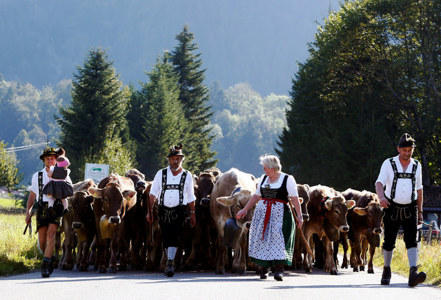 """Bavarian farmers escort cows during the traditional """"Almabtrieb"""" in Bad Hindelang, south of Munich, Germany September 10, 2016. The Almabtrieb is an annual event in the alpine regions in Europe, referring to a cow train in autumn. While there is often some movement of cattle between the Almen/Alpen during the summer, there is usually one concerted cow train in autumn to bring the cows to their stables down in the valley. This typically takes place in late September or early October. If there were no accidents on the Alm/Alp during the summer, in many areas the cows are decorated elaborately, and the cow train is celebrated with music and dance events in the towns and villages. In many places this Alpine custom of Almabtrieb/Alpabzug has nowadays evolved into a major tourist attraction. (Photo by Michaela Rehle/Reuters)"""