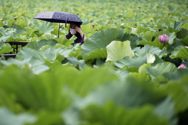 A woman wearing a protective mask to help curb the spread of the new coronavirus walks at a lake with lotus leaves under the scorching sun Thursday, August 13, 2020, in Tokyo. Temperatures rose up over 35 degrees Celsius (95 degrees Fahrenheit) in Tokyo, according to the Japan Meteorological Agency. (Photo by Eugene Hoshiko/AP Photo)