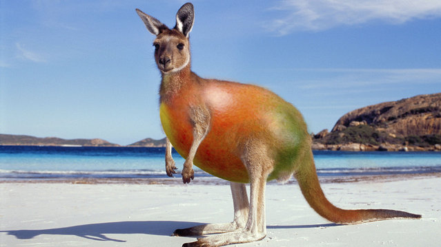 Cross between a kangaroo and a mango. (Photo by Sarah DeRemer/Caters News)