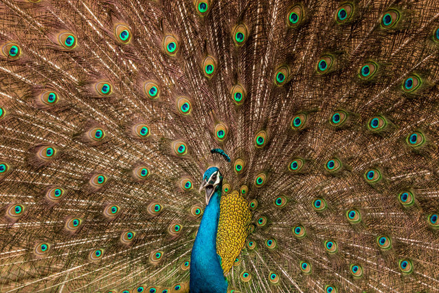 This picture was taken in the forest area of Jaipur, Rajasthan, India. Rajasthan has a huge population of the national bird and they are found in most areas (both urban and rural). This picture was taken during rain season, in which it's a common sight to watch peacocks dancing. (Photo by Satvik Bhatt/Sony World Photography Awards)