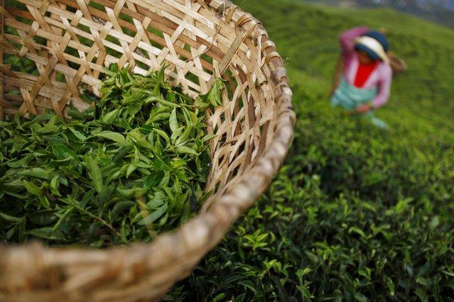 In this Sunday, November 16, 2014 photo, a Nepalese worker picks tea leaves at a tea garden in Kanyam in Illam district, around 500 kilometers (310 miles) from Katmandu, Nepal. (Photo by Niranjan Shrestha/AP Photo)