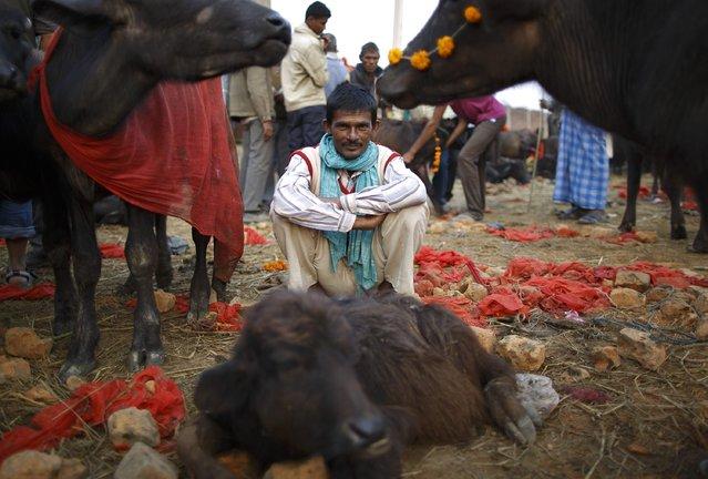 "A herder sits inside an enclosure for buffalos awaiting sacrifice on the eve of the sacrificial ceremony for the ""Gadhimai Mela"" festival in Bariyapur November 27, 2014. (Photo by Navesh Chitrakar/Reuters)"