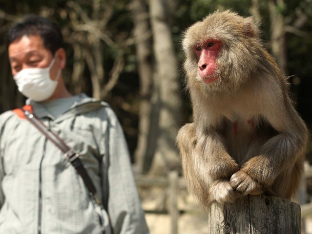 A 20-year-old Japanese macaque monkey named Monday looks on as her eyes water while suffering an allergy to pollen from the cedar tree as a man walks beside wears a protective face mask at Awajishima Monkey Centre on March 17, 2013 in Sumoto, Japan. Many monkeys are suffering the effects of hay fever at this time of the year, with the typical symptoms being the same as with humans.  According to Awajishima Monkey center this year hay fever is higher than last year, the pollen season is from February to April.  (Photo by Buddhika Weerasinghe)