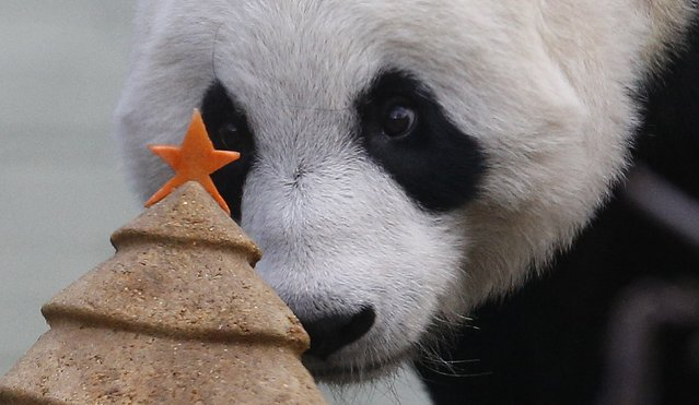 Tian Tian, a  giant panda prepares to eat a special Christmas panda cake crafted in the shape of a Christmas tree in the outdoor enclosure at Edinburgh Zoo, Scotland December 17, 2014. (Photo by Russell Cheyne/Reuters)