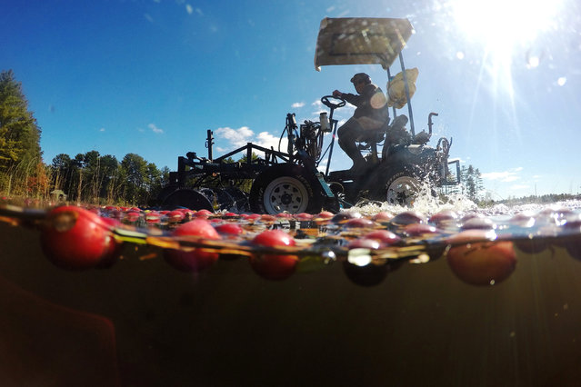 Workers harvest cranberries from one of third-generation farmer Larry Harju's bogs in Carver, Massachusetts, U.S. October 14, 2016. The cranberries from Harju's farm are a part of the 8 million barrels of cranberries Ocean Spray anticipates is grower-owners will produce this year. (Photo by Brian Snyder/Reuters)