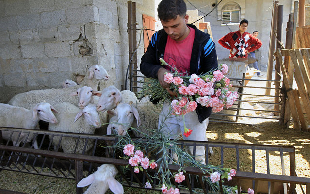 A Palesitinian farmer feeds carnation to his sheep at the Hijazi flower farm in Rafah town, in the southern Gaza Strip, on April 25, 2013. Palestinian farmers fed their livestock part of this year's flower crop, a product grown almost exclusively for export  to the European market, due to export restrictions, imposed by Israel after the Islamist Hamas party took control of the impoverished strip. (Photo by Said Khatib/AFP Photo)