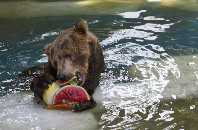 A bear named Ze Colmeia eats frozen fruit at the city zoo in Rio Janeiro, Brazil, Tuesday, January 13, 2015. Animals were given frozen snacks made from tropical fruits, chunks of meat and frozen yogurt to help ease the intense summer heat. (Photo by Silvia Izquierdo/AP Photo)