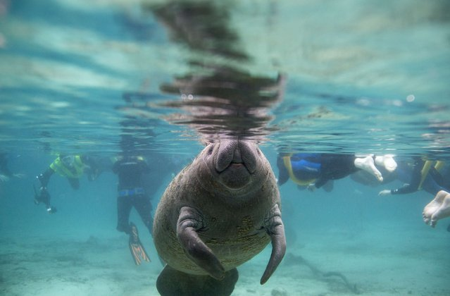 A Florida manatee swims in the Three Sisters Springs while under the watchful eye of snorkelers in Crystal River, Florida January 15, 2015. (Photo by Scott Audette/Reuters)