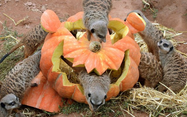 Meerkats inspect a pumpkin carved in Halloween design and filled with flour worms and straw at the Zoo in Leipzig, eastern Germany, on September 25, 2013. Suited to the upcoming Halloween holiday, the animals' enclosure is decorated with pumpkins and delights meerkats and visitors. (Photo by Waltraud Grubitzsch/AFP Photo/DPA)
