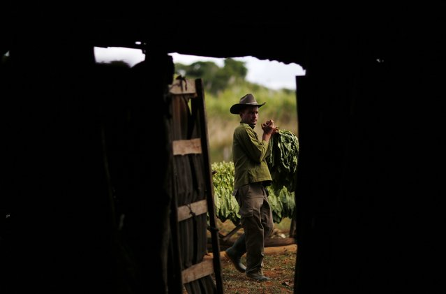 A farmer takes tobacco leaves inside a curing barn at a plantation in valley of Vinales, in the western Cuban province of Pinar del Rio, January 29, 2015. (Photo by Pilar Olivares/Reuters)