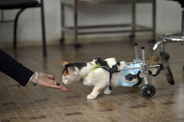 "This picture taken on March 16, 2015 shows 8 month old cat Hei Hudie meaning ""black butterfly"" sniffing cat food as it stands with a special walking aid in a pet hospital in China's southwest Chongqing municipality. (Photo by AFP Photo)"