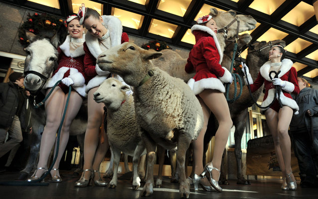 "A donkey, two sheep and three camels pose with Rockettes outside Radio City Music Hall Hall before their first day of rehearsals for the 2013 ""Radio City Christmas Spectacular"" and their starring role in the ""Living Nativity"" show October 29, 2013 in New York. (Photo by Stan Honda/AFP Photo)"