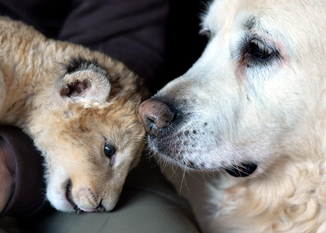 A photo made available on 16 March 2015 shows Kiki the dog sniffing at Malor the lion cub with in Lierfeld, Germany, 11 March 2015. Lira, the lion mother, abandoned her offspring four weeks ago at the Eifel Zoo in Luenebach, Germany. Isabelle Wallpott, the director of the zoo, is now taking care of the lion cub at home. (Photo by Harald Tittel/EPA)
