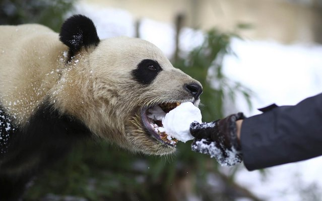 A visitor feeds a giant panda with a snowball at a zoo in Kunming, Yunnan province, January 13, 2014. (Photo by Wong Campion/Reuters)