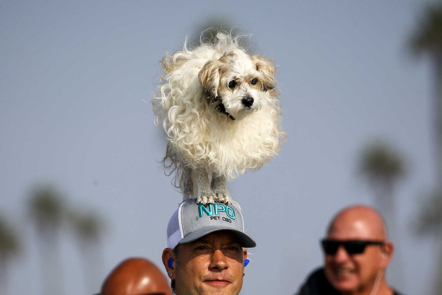 A dog Prince Dudeman stands on the head of Ryan Thor in the annual Surf City Surf Dog event, at Dog Beach in Huntington Beach, Calif., Saturday, September 25, 2021. (Photo by Ringo H.W. Chiu/AP Photo)