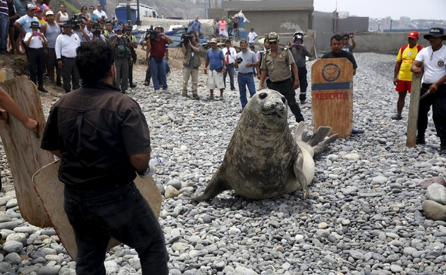 An elephant seal is herded by police and volunteers for a check by veterinarians after it was found in a sick condition on a beach at Miraflores district of Lima, March 11, 2016. (Photo by Mariana Bazo/Reuters)
