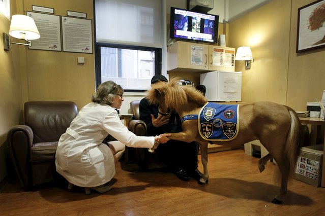 Handler Jorge Garcia-Bengochea (R) holds Honor, a miniature therapy horse from Gentle Carousel Miniature Therapy Horses, as Dr. Lisa Satin, System Chair of Pediatrics for the Mount Sinai Health System, holds his leg before Honor visited with patients at the Kravis Children's Hospital at Mount Sinai in the Manhattan borough of New York City, March 16, 2016. (Photo by Mike Segar/Reuters)