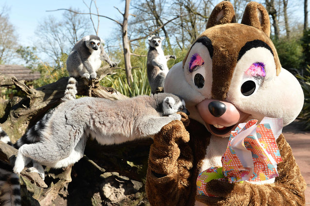 Ring-tailed lemurs stand on a tree next to a person wearing a costume and holding a package wrapped as an Easter gift, at the zoo in La Fleche, northwestern France, on March 27, 2016. (Photo by Jean-Francois Monier/AFP Photo)