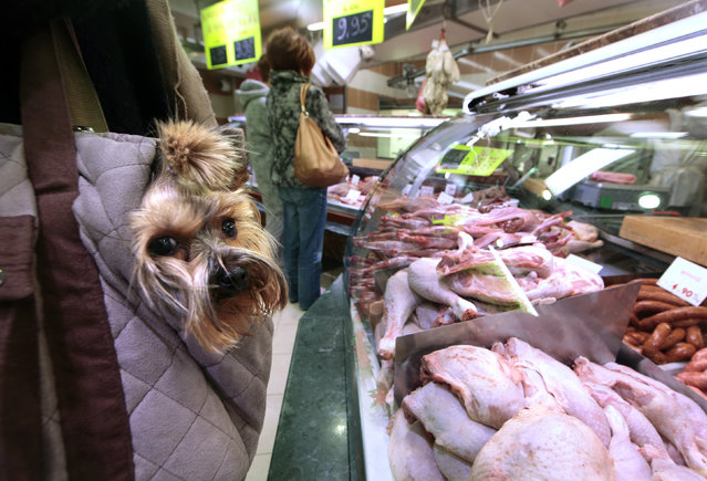 A customer holds her dog in a basket as she waits at the Boucherie St Francois butcher shop in the old city of Nice, France, March 31, 2016. (Photo by Eric Gaillard/Reuters)