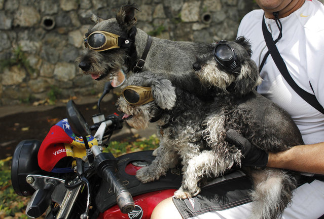 A man and his dogs sit on a motorcycle during an anti-government march in Caracas March 16, 2014. (Photo by Tomas Bravo/Reuters)