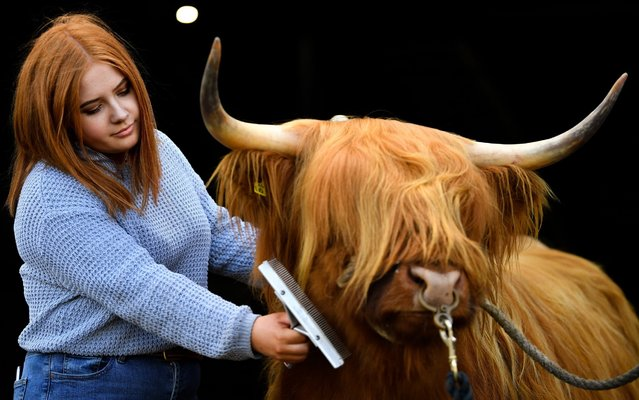 Laura Hunter from Barnhill farm Shotts prepares two year old Bo ahead of The Royal Highland Show on June 19, 2019 in Edinburgh, Scotland. The show which is held at Ingliston starts tomorrow and runs until the 23rd of June, it will see more than 1000 trade exhibitors and 2150 livestock competitors involved in the event. (Photo by Jeff J. Mitchell/Getty Images)