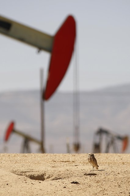 A burrowing owl stands next to its burrow near pump jacks in an oil field over the Monterey Shale formation where gas and oil extraction using hydraulic fracturing, or fracking, is on the verge of a boom on March 23, 2014 near Lost Hills, California. Critics of fracking in California cite concerns over water usage and possible chemical pollution of ground water sources as California farmers are forced to leave unprecedented expanses of fields fallow in one of the worst droughts in California history. (Photo by David McNew/Getty Images)