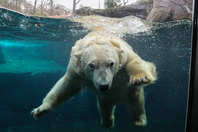 A polar bear enjoys the water in its enclosure at Hanover Zoo on March 9, 2017 in Hanover, Germany. (Photo by Imago/Barcroft Images)