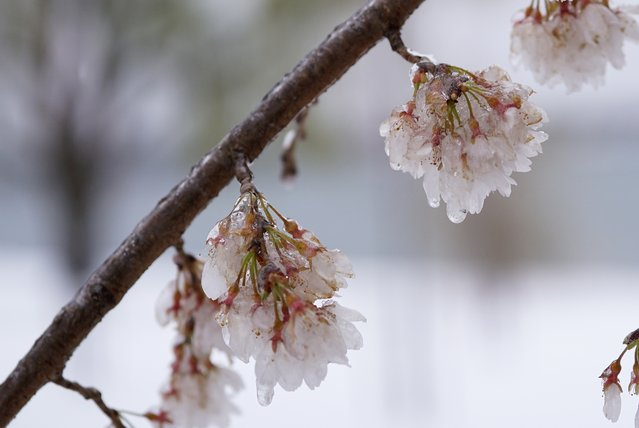 Ice-covered cherry blossoms are seen near the Potomac River on March 14, 2017 in Washington, DC. Winter Storm Stella dumped snow and sleet Tuesday across the northeastern United States where thousands of flights were canceled and schools closed, but appeared less severe than initially forecast. (Photo by Mandel Ngan/AFP Photo)