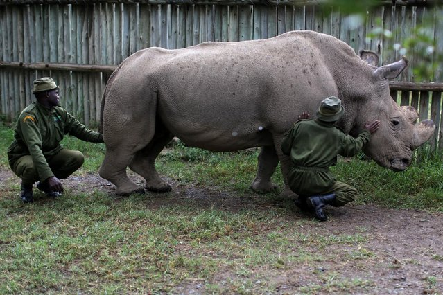 Wildlife rangers stroke a northern white rhino, only three of its kind left in the world, ahead of the Giants Club Summit of African leaders and others on tackling poaching of elephants and rhinos, Ol Pejeta conservancy near the town of Nanyuki, Laikipia County, Kenya, April 28, 2016. (Photo by Siegfried Modola/Reuters)
