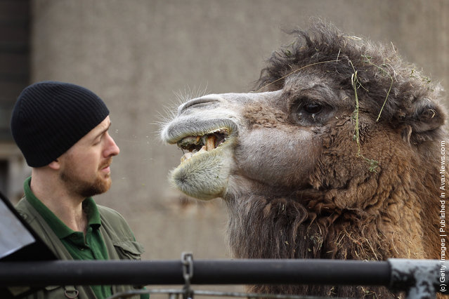 A Bactrian camel spits in a zookeepers face during a photocall to promote London Zoo's annual stock take of animals