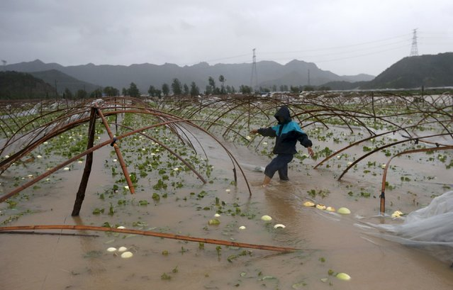 A farmer walks among a flooded watermelon field as heavy rainfall, under the influence of Typhoon Chan-hom, hits Sanmen county, Zhejiang province, China, July 11, 2015. One of the most powerful typhoons to strike eastern China in decades disrupted air, rail and sea transport on Saturday after forcing the evacuation of more than a million people from the provinces of Zhejiang and Jiangsu, state media reported. (Photo by William Hong/Reuters)