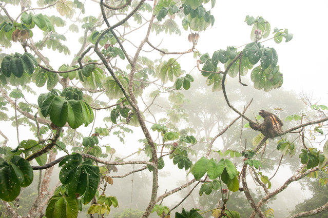 """Winner, young photographers up to 14 years: In the canopy – Carlos Pérez Naval (Spain). """"I photographed this Hoffmann's three-toed sloth ( Choloepus hoffmanni) near Panama City from a visitors platform in the rainforest. It was a misty morning and the animal rested on the branches of a cecropia tree. I discovered it from the top of the visitors platform, but after I took a few shots at eye level I thought I might get a better perspective from further below. So I went down a floor to the dining room to photograph the animal with the beautiful foliage in the misty atmosphere"""". (Photo by Carlos Pérez Naval/2019 GDT European Wildlife Photographer of the Year)"""