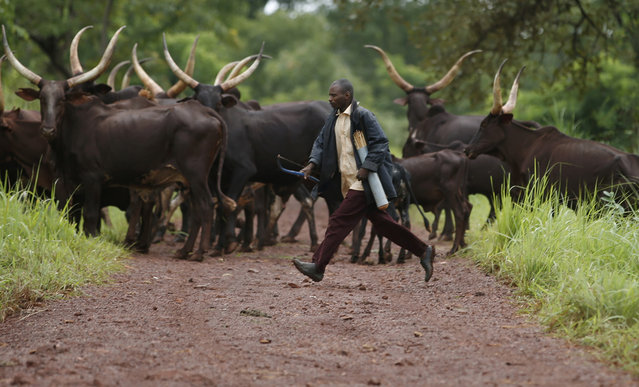 A man from the Puel tribe holds a bow and arrows as he runs after his cattle outside Bambari, Central African Republic, on May 30, 2014. Puel cattle herder tribes are Muslims and are often attacked by Anti-Balaka Christian militia. (Reuters/Goran Tomasevic)