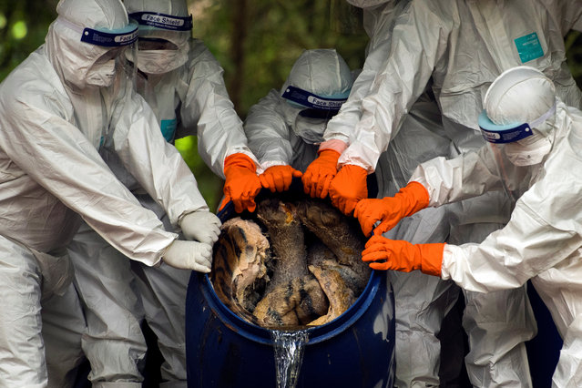 Thai wildlife department officials wearing protective suits drain formaldehyde out of a tank containing carcasses of tigers seized from the Tiger Temple tourist attraction, at Khao Prathap Chang Wildlife Sanctuary in Ratchaburi province, Thailand, September 20, 2019. (Photo by Chittiwat Pornprasert/Reuters)
