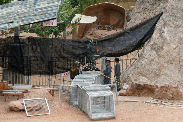 Officials try to lead a tiger into a cage as they start moving tigers from Tiger Temple, May 30, 2016. Wildlife activists have accused the temple's monks of illegally breeding tigers, while some visitors have said the animals can appear drugged. The temple denies the accusations. (Photo by Chaiwat Subprasom/Reuters)
