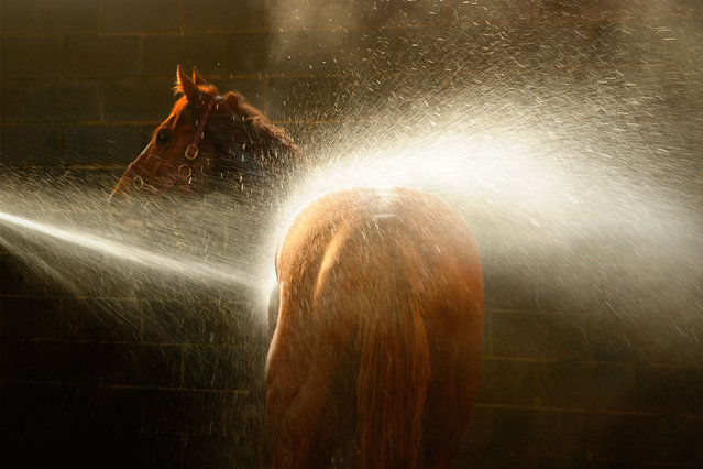 Darren Weir trained galloper (stable nick name, Star) enjoys a wash down after a Ballarat trackwork session at Ballarat Turf Club on July 23, 2014 in Ballarat, Australia.  (Photo by Vince Caligiuri/Getty Images)