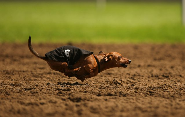 Spunky runs during the third heat of a dog race Monday, September 1, 2014, at Canterbury Park, in Shakopee, Minn. Canterbury Park hosted their annual Labor Day Wiener Dog Wars in which dogs competed in seven races on the horse track for the title of Grand Champion. (Photo by Jeff Wheeler/AP Photo/The Star Tribune)
